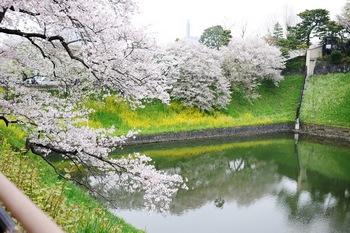 130331桜と菜の花.jpg